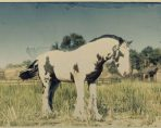 gypsy cob red dead online new horse
